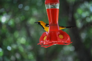 Hooded Oriole at the north hummingbird feeder.