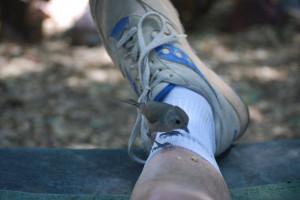 Oak Titmouse taking a piece of nut off my leg.