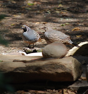 The Quail at the ground bird bath, north yard.