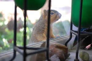 Precious begging at our kitchen window one morning.