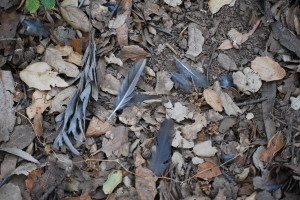 Feathers from the quail.