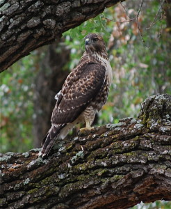 Juvenile Red-tailed hawk.