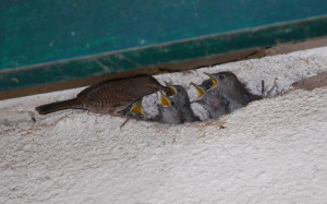 A parent feeding the first brood of six