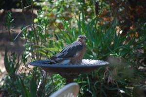 Cooper's Hawk in my south birdbath