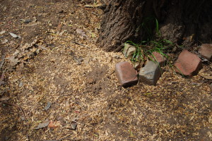 Wood chips at base of Pepper tree from excavation.