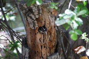Female nestling, Spring 2012
