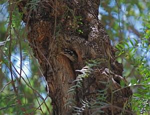 Female taking fecal matter from nest, Spring 2014