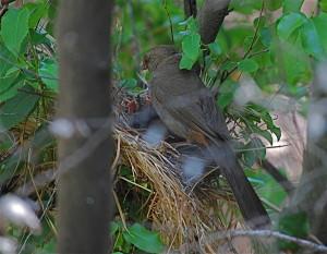 The nest deteriorating under a parent.