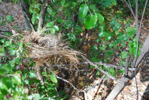 A small spot of blood on the far side of the nest.