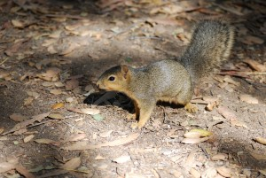 One of the Eastern Fox squirrels we feed.