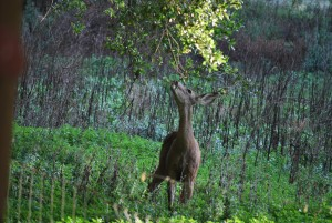 Mule deer eating the tender and nutritious oak sprouts.