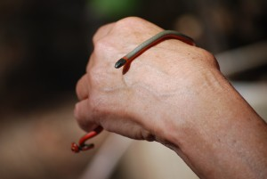 A Ring-necked snake adult.