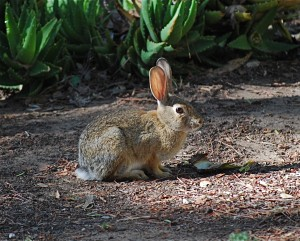 A bush cottontail.