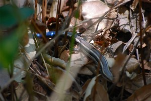 Juvenile Western skink with blue tail.