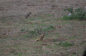 Mantled ground squirrels, blond phase in front.