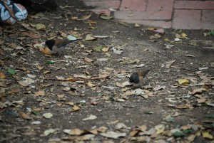 Dark-eyed juncos foraging.