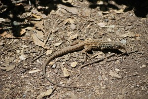 A California whiptail.