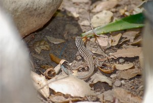 Juvenile Western whiptail. Notice the blue tail.