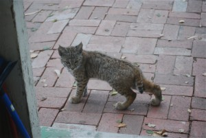 Juvenile bobcat outside our kitchen door, 2013