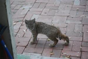 Juvenile bobcat outside our kitchen door, 2013