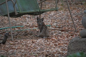 The same bobcat underneath our swing.